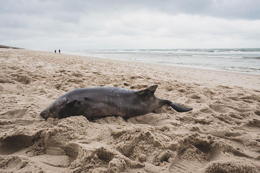 Schweinswale auf Sylt beobachten