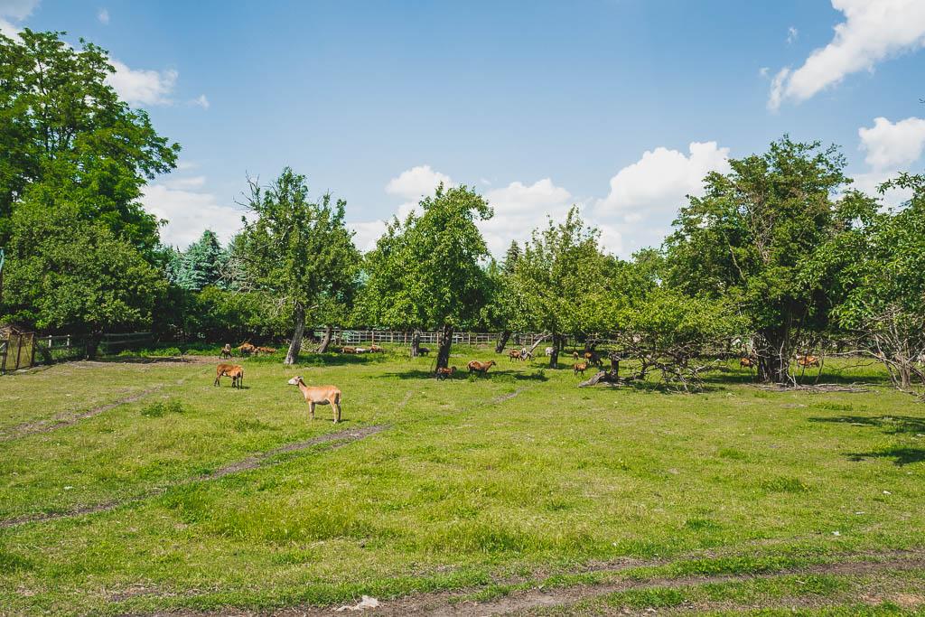 Zossener Wildschafe auf der Weide vom Flair Hotel Reuner in Brandenburg