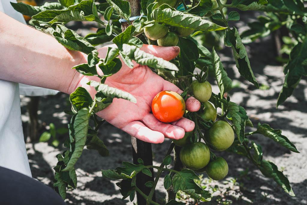 Hand hält Tomate am Strauch
