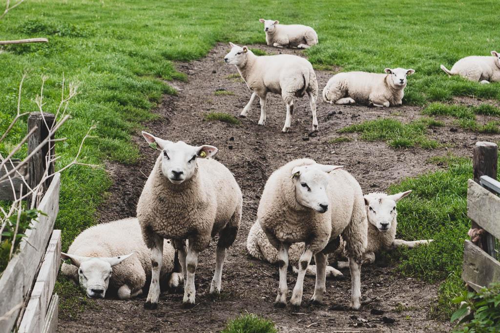 Schafe auf der Weide auf Texel