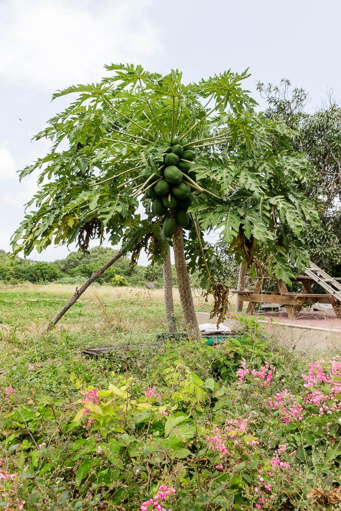 Papaya-Baum Curaçao Restaurant Hofi Cas Cora Curaçao