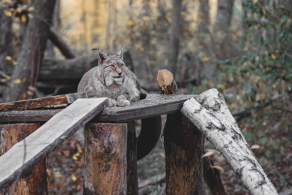 Luchs Wildpark Johannismühle Baruth Brandenburg