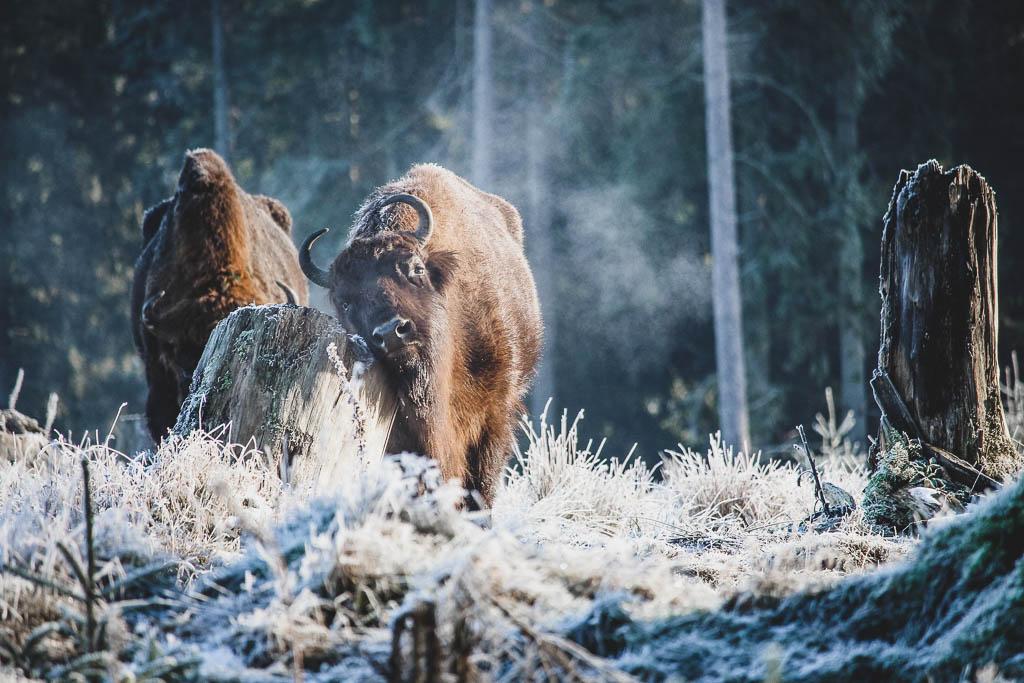 Wisent in der Wisent-Welt am Rothaarsteig im Winter