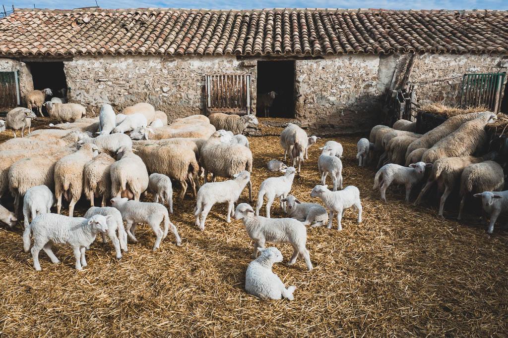 Schafe Buggy-Tour Wüste Bardenas Reales in Spanien