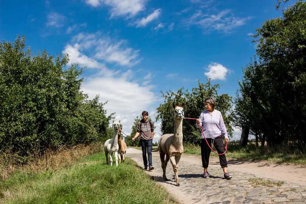 Wandern mit Alpakas in Zernitz Sachsen -Anhalt