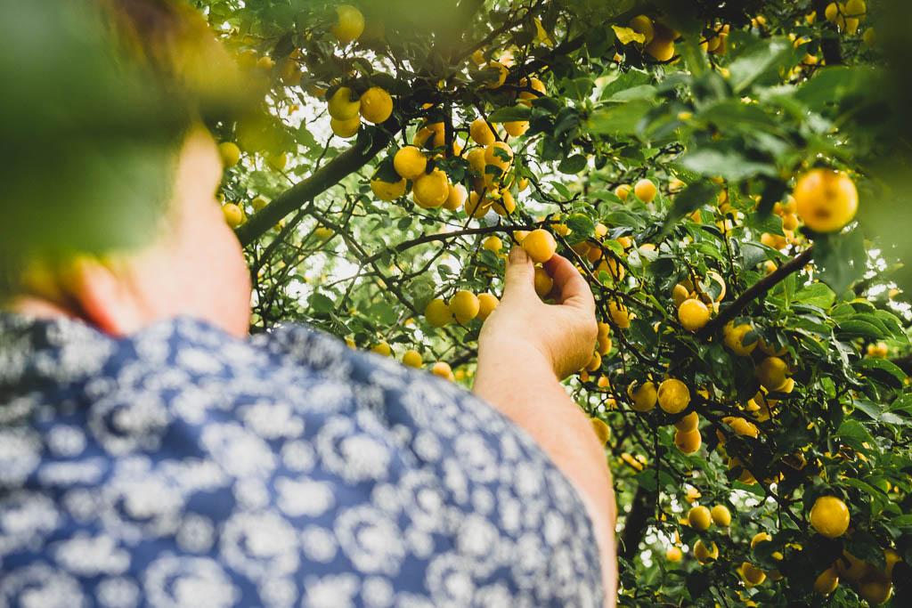 Mirabellen Streuobstwiese Fruchteria ein kulinarisches Wochenende im Saarland
