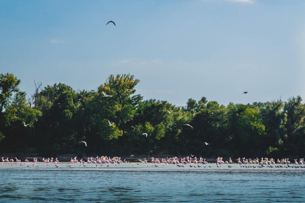 Pelikane Bootstour von Tulcea in das Donaudelta Rumänien
