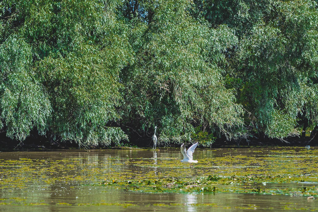 Reiher Bootstour von Tulcea in das Donaudelta Rumänien