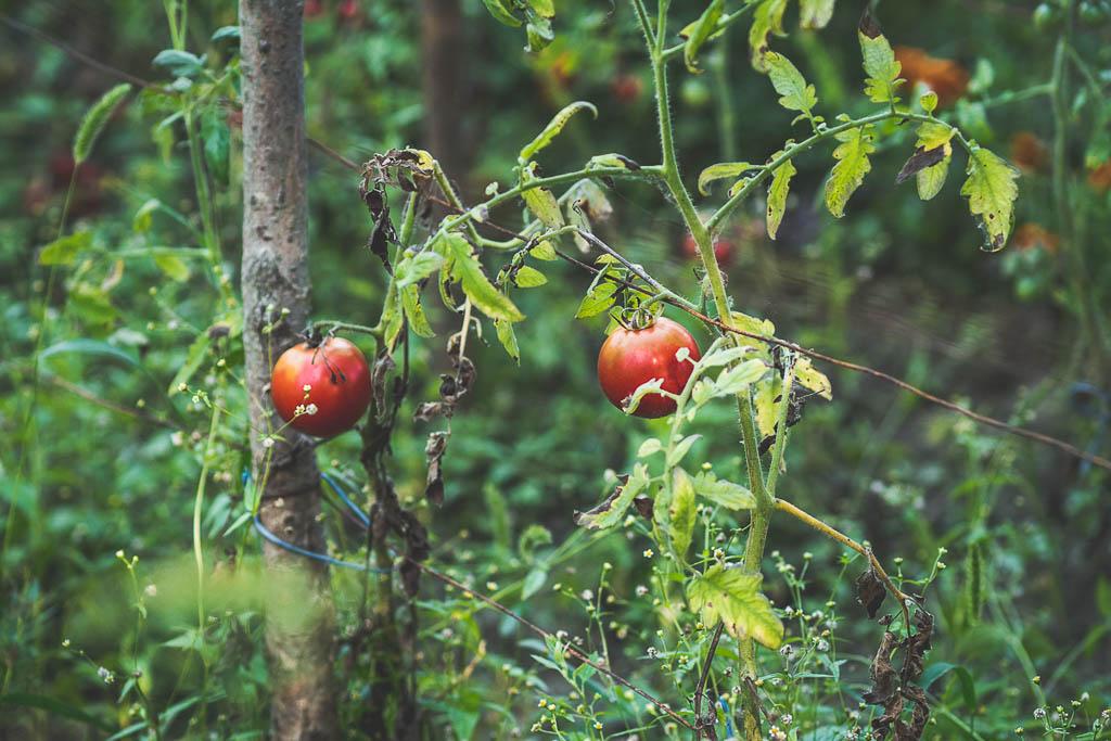 Tomaten Bootstour von Tulcea in das Donaudelta Rumänien