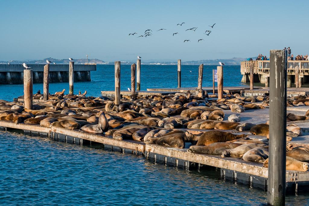 Seelöwen Pier 39 Fishermans Wharf San Francisco in 3 Tagen aktiv entdecken – Reisetipps, Highlights und besondere Aktivitäten